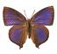 Papillon Azuré-feuille