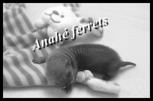 Anahé Ferrets Index du Forum