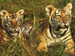 tigre-argent