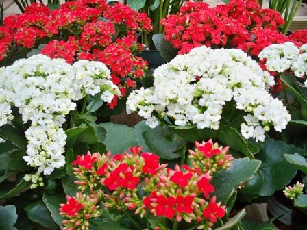 Loisir et jardin et orchid es du monde kalanchoe soigner sa floraison - Entretien orchidee apres floraison ...