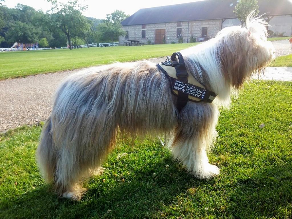 Les farfelus poilus et fan club du bearded collie laisse ou harnais - Fabriquer un harnais pour chien ...