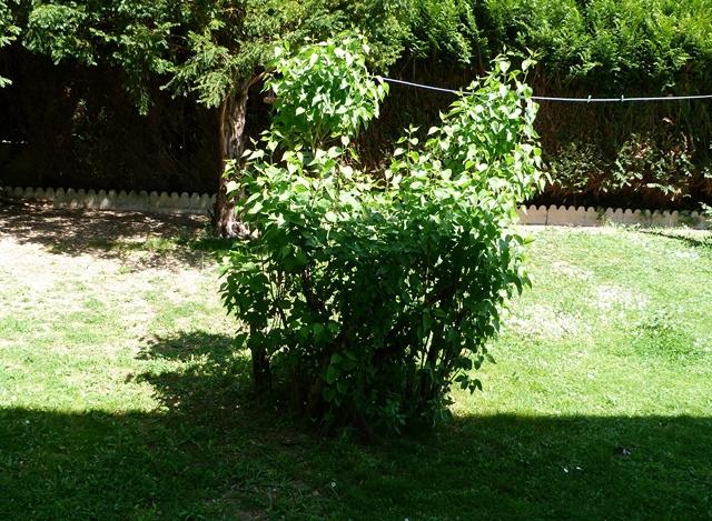 une m nagerie dans mon jardin mon lilas ne fleuri. Black Bedroom Furniture Sets. Home Design Ideas