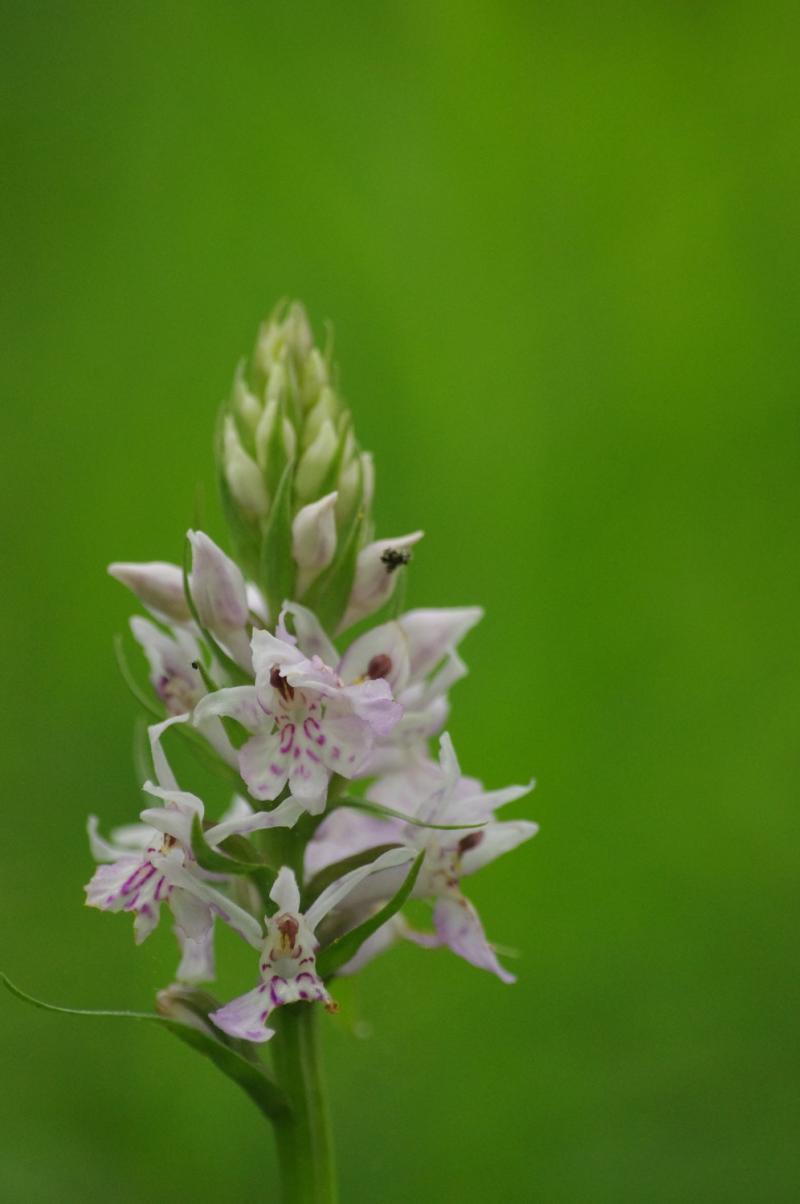 orchidee sauvage anjou