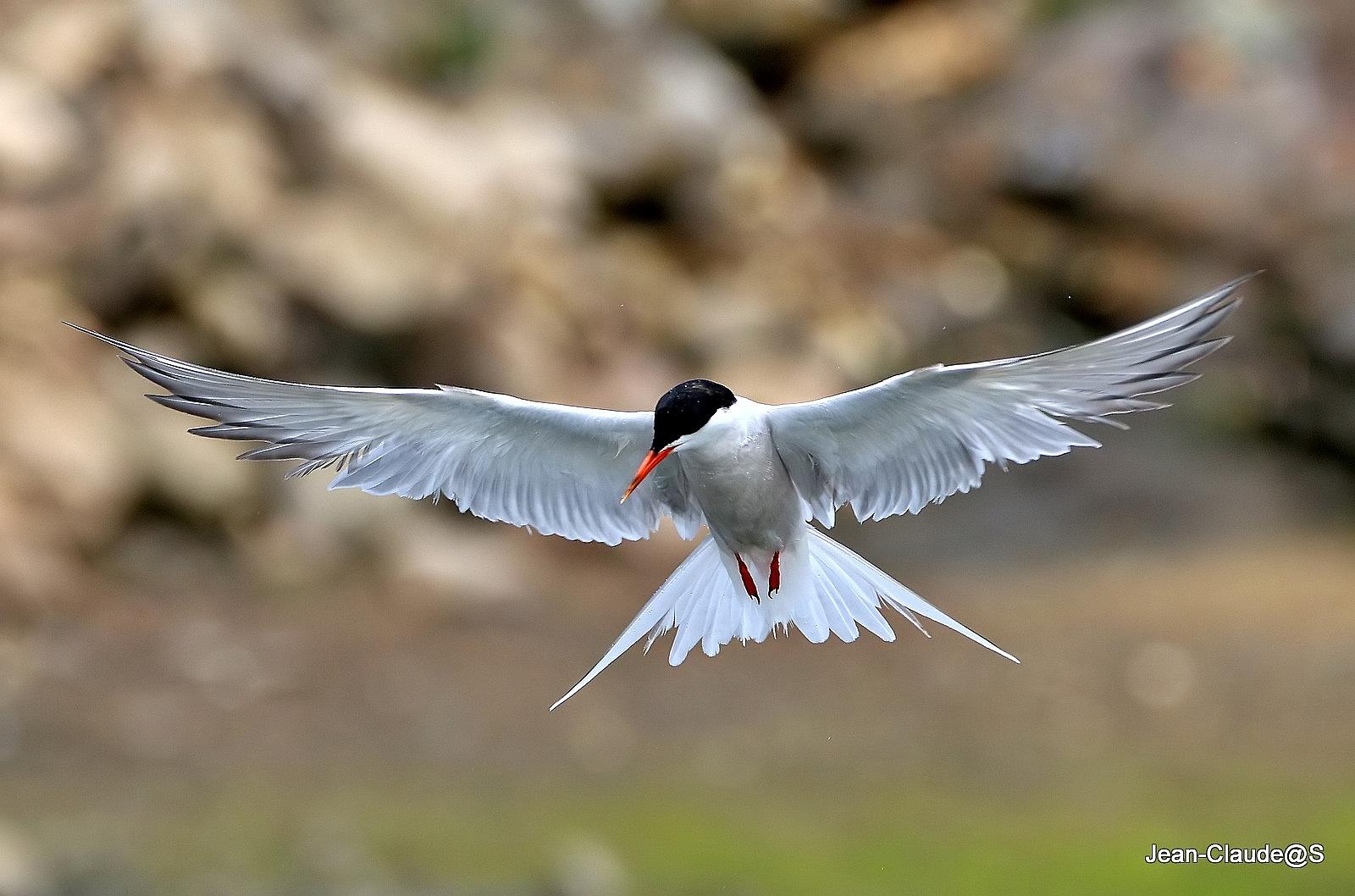 Les oiseaux de la Ria d'Etel - Page 5 Img_0056_filtered-54a6941