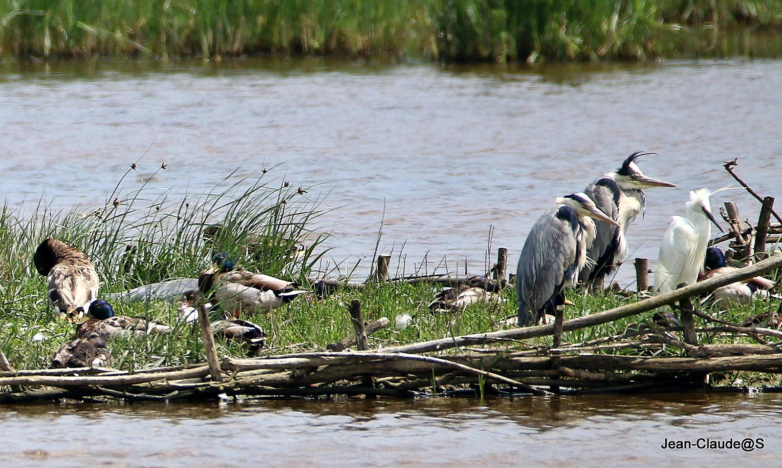 Les oiseaux de la Ria d'Etel - Page 5 Img_9716-54a21ff