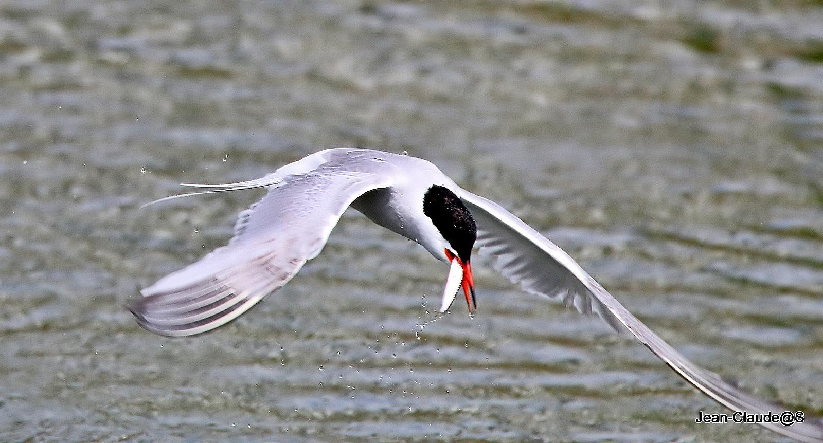 Les oiseaux de la Ria d'Etel - Page 5 Img_0051_filtered-54a6933
