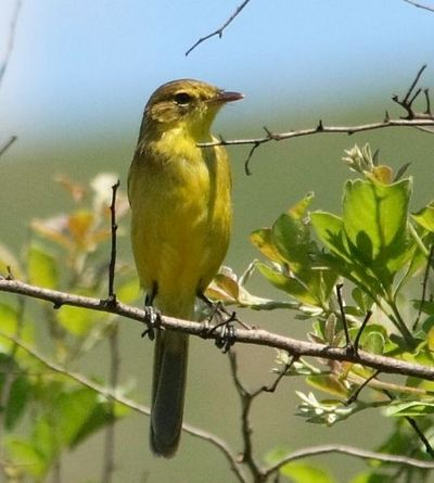 50 39 s pour toujours oiseaux birds par lettre for Oiseau ventre jaune