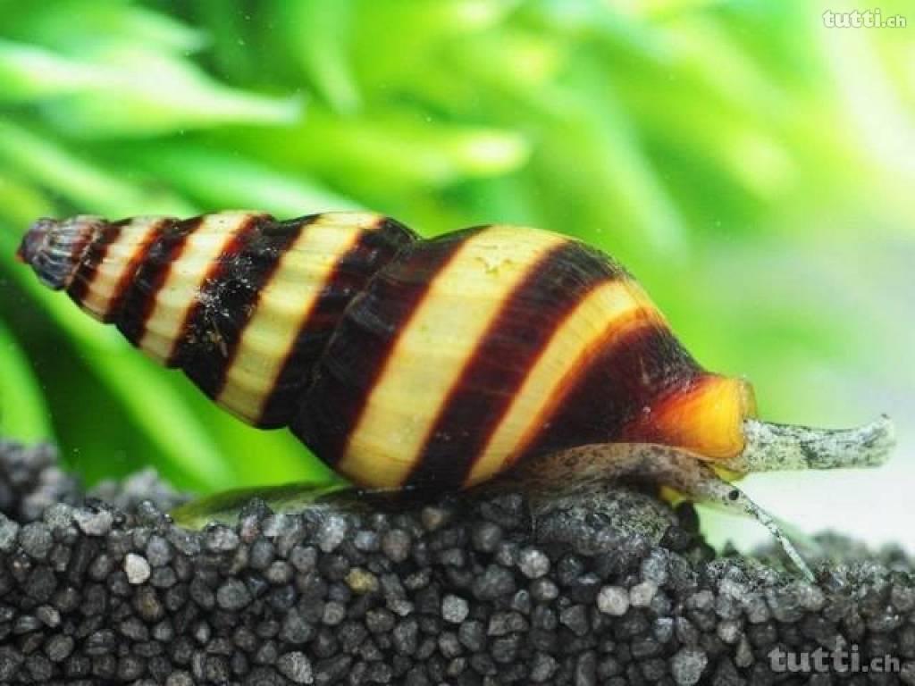 tac toulouse aquario club les diff 233 rents types d escargots d aquarium