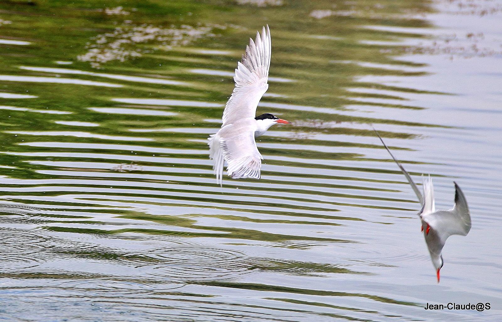 Les oiseaux de la Ria d'Etel - Page 5 Img_0100-54a696c