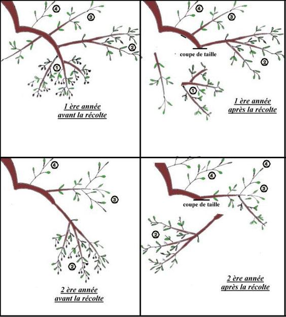 Chez cubi mirabelles - Quand tailler arbre fruitier ...