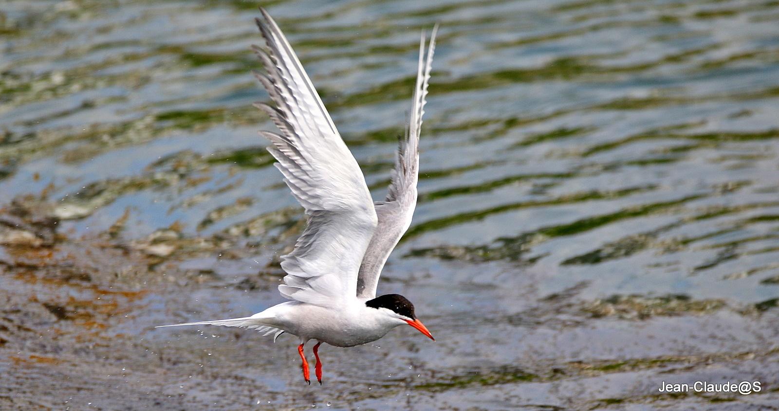 Les oiseaux de la Ria d'Etel - Page 5 Img_0066-54a694e