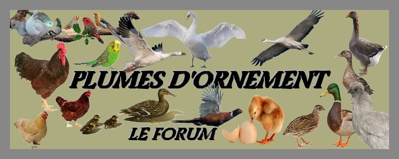 Forum Plumes D'ornement  Forum Index