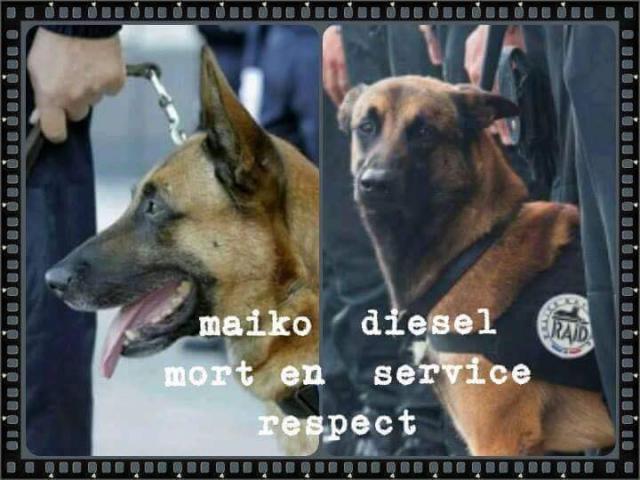 Hommage à DIESEL/MALIKO - chienne du RAID 12243360_15164889...805679_n-4d7e690