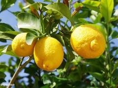 Nouveau sujet Citron-55052e2