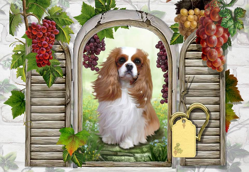 Passion Cavaliers King Charles Index du Forum