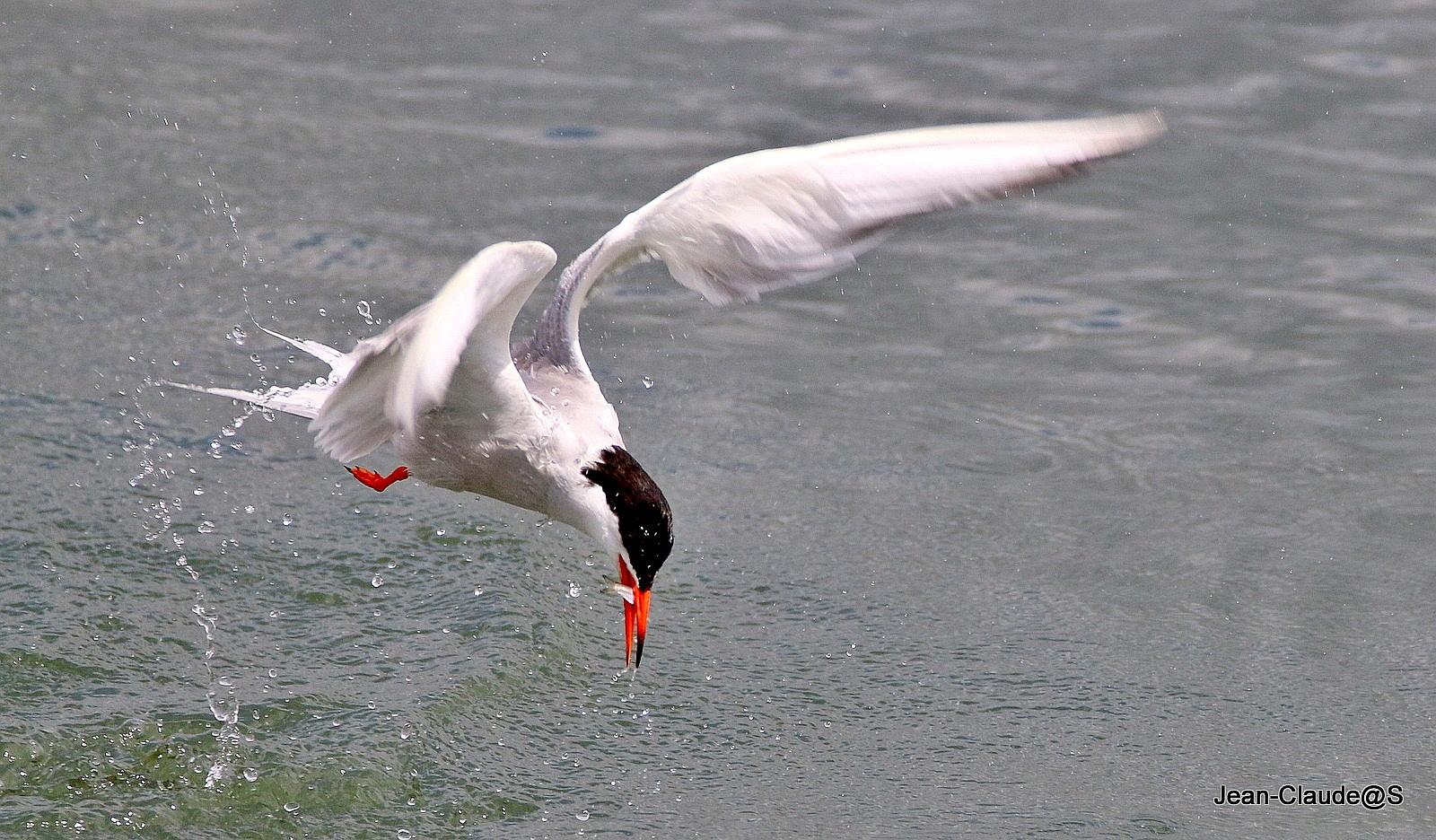 Les oiseaux de la Ria d'Etel - Page 5 Img_0072-54a695a