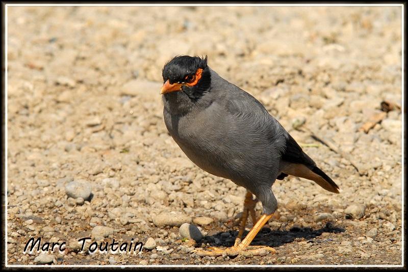 Forum de l 39 oiseau libre les oiseaux d 39 inde for Oiseau commun