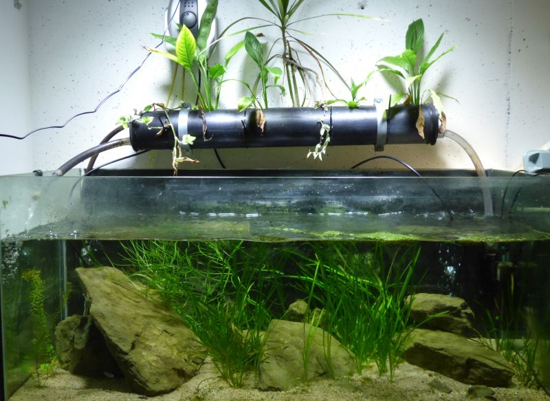 300L Tanga Julidochromis transcriptus Pemba P1050781-503658c