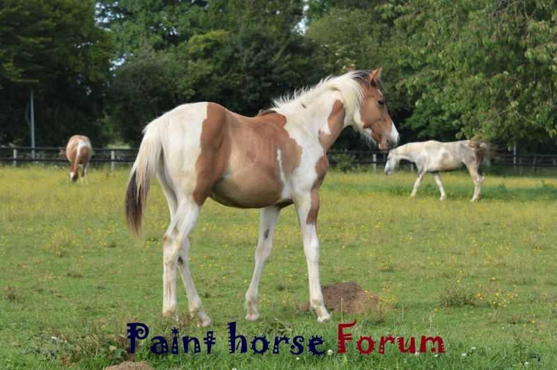 Le forum du paint horse Forum Index