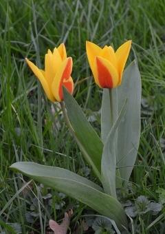 Nouveau sujet - Page 17 Tulipe-572a9ca