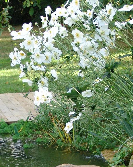 Lgcd - Anemone du japon blanche ...