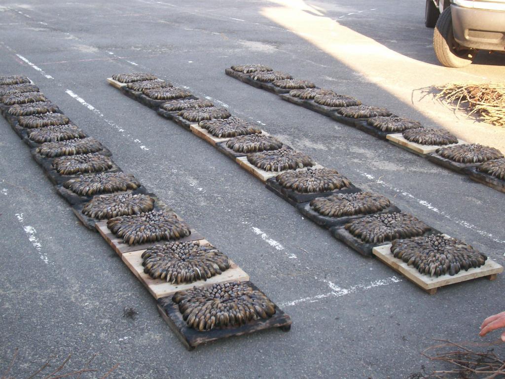 association des chasseurs de tonne de la charente maritime eclade de moules st bonnet 2008. Black Bedroom Furniture Sets. Home Design Ideas