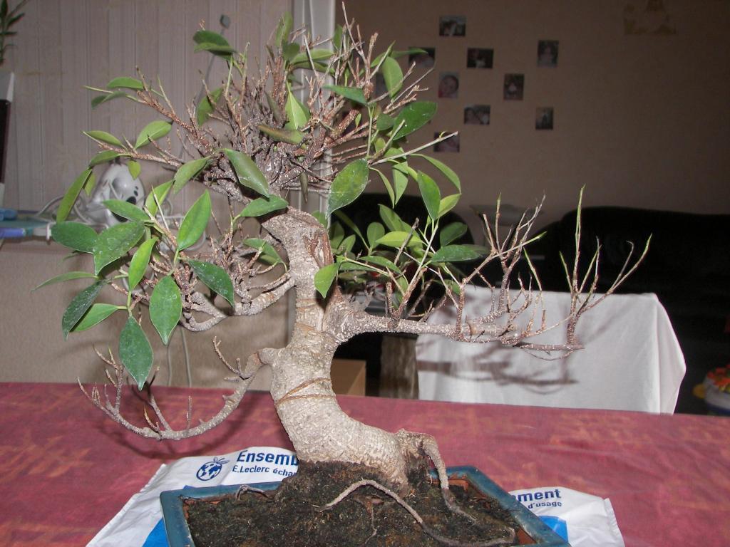 espace bonsaï :: au secours mon ficus retusa perd ses feuilles