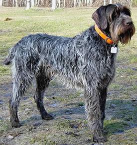 dressage chien korthal
