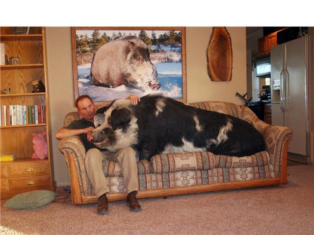 le forum des border terriers cherche nounou pour cochon d 39 inde urgent. Black Bedroom Furniture Sets. Home Design Ideas