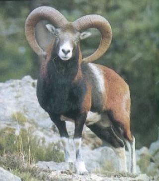 chasse approche mouflon