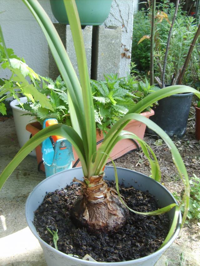 Hors ligne - Comment faire refleurir un amaryllis ...