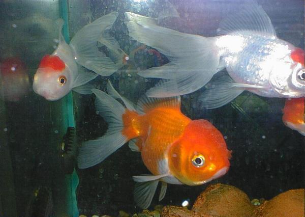 Passions et partage aquariophilie choisir son for Poisson aquarium eau douce froide