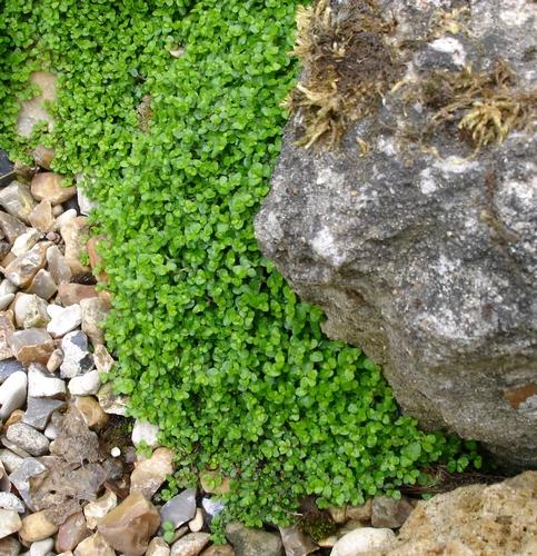 jardin d 39 eau helxine un couvre sol comme de la mousse. Black Bedroom Furniture Sets. Home Design Ideas