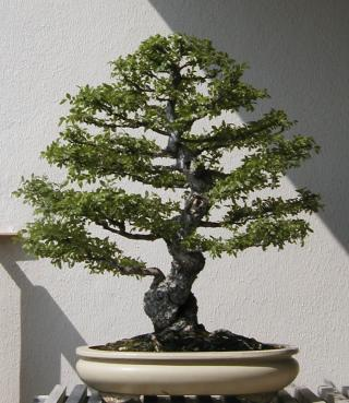 Orme de chine bonsa 7 ans 32cm - Orme de chine bonsai ...