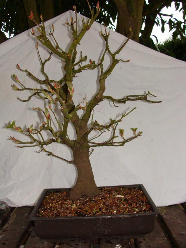 espace bonsa 6 arbres a vendre. Black Bedroom Furniture Sets. Home Design Ideas