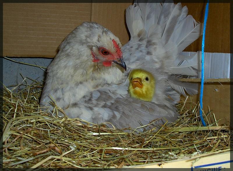 poule brahma qui couve