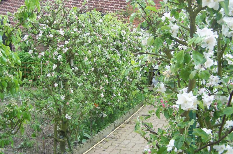 A gauche un poirier conf rence form en petite palmette 2 branches for Haie de jardin en belgique