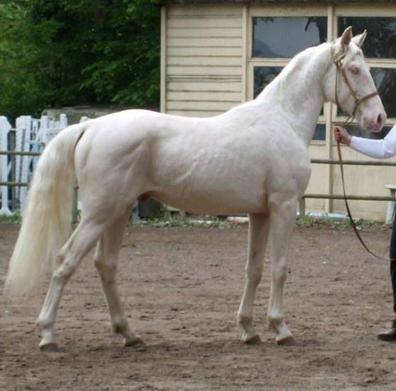 Terre de cheval propose saillie d un jeune cheval de race creme pp 76 - Salon du cheval montpellier ...