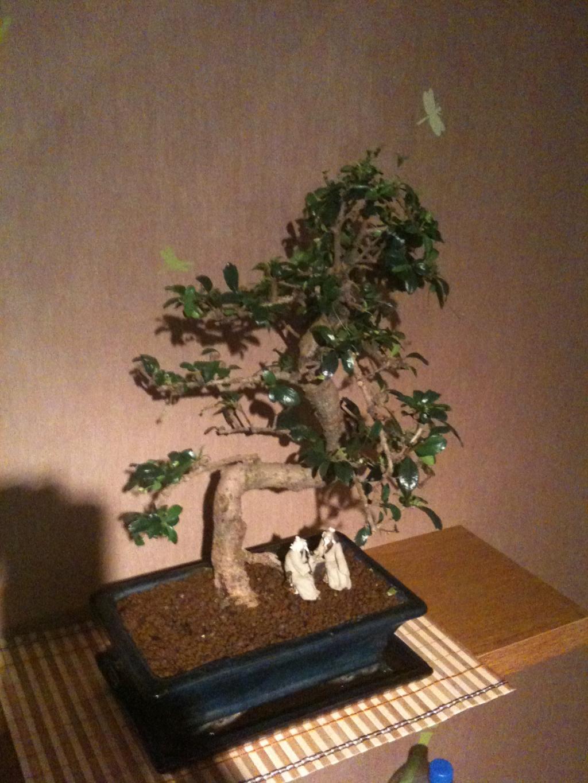 espace bonsaï :: mon 2ème arbre: un carmona