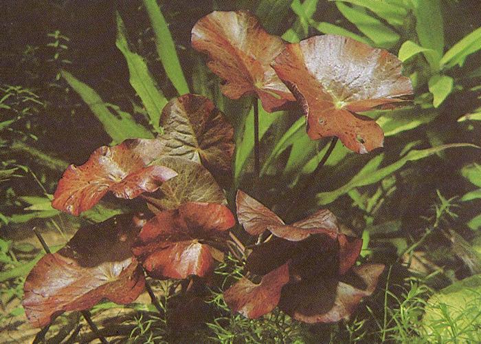 Fam nymphaeaceae for Plante 7 feuilles