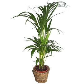 Plante verte palmier for Plantes vertes appartement
