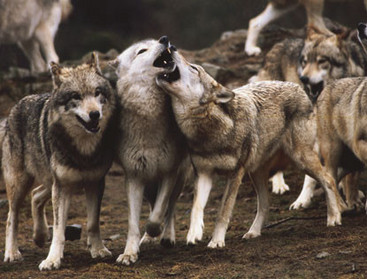 the wolf Index du Forum