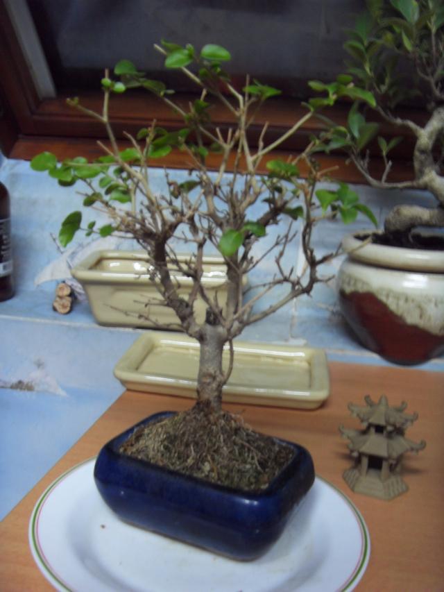 espace bonsaï :: bonsaï qui perds ses feuilles