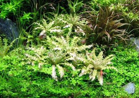 Club d 39 aquariophilie de st amand les eaux comment avoir un beau tapis de plante - Comment detacher un tapis ...