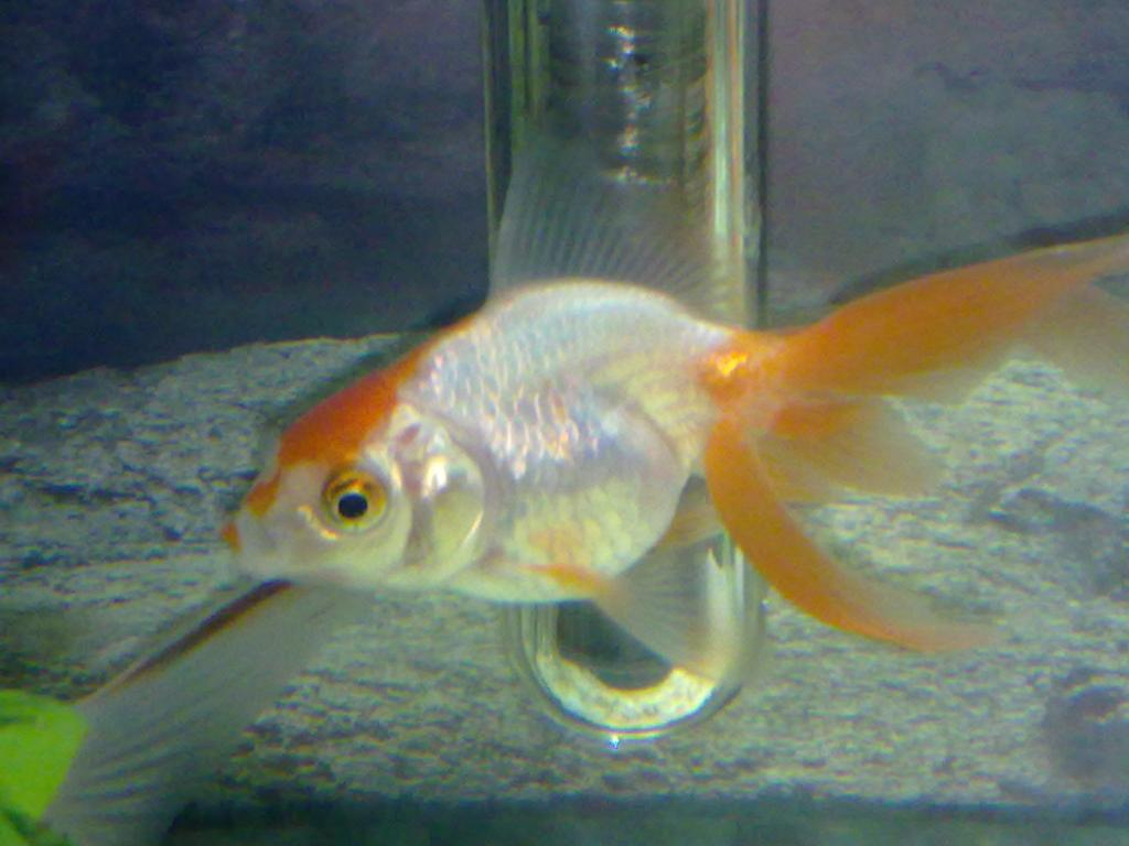 Aqua goldfish poison a changer de couleur ou perd ses for Bassin a poison
