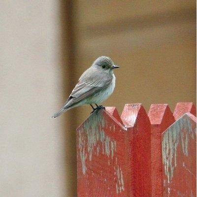 Passions et partage les oiseaux de nos villes et de for Oiseau gris et blanc