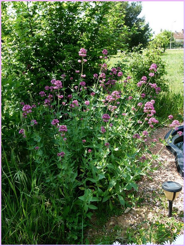forum jardin au naturel plantes vivaces rustiques