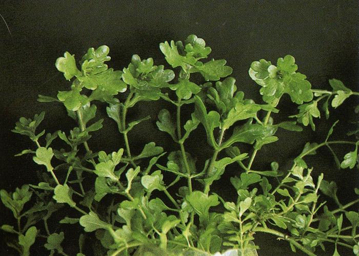 Planter multiplier et entretenir ses plantes for Plante 8 feuilles