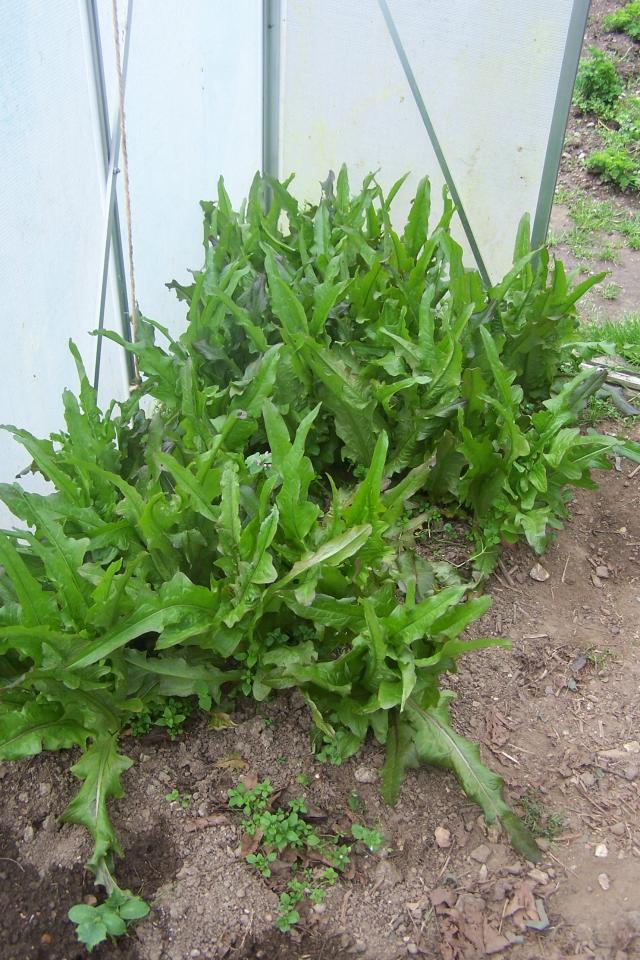 Dans une autre partie des serres une plantation de - Repiquer de la mache ...