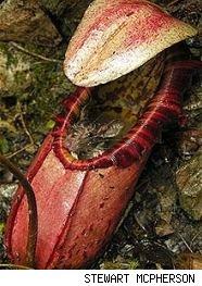 plante carnivore mange une souris